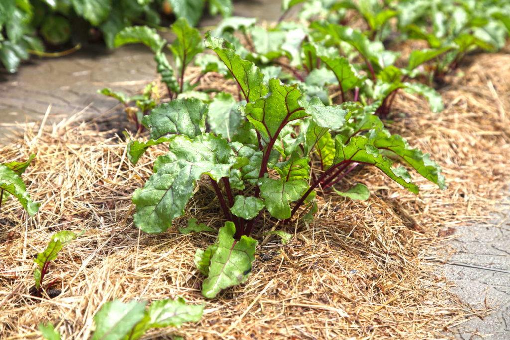 Rote Beet Pflanzen im Beet mit Mulchunterlage aus Stroh