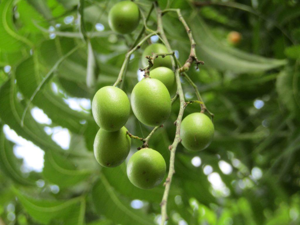 Grüne Samen hängen an einem Baum