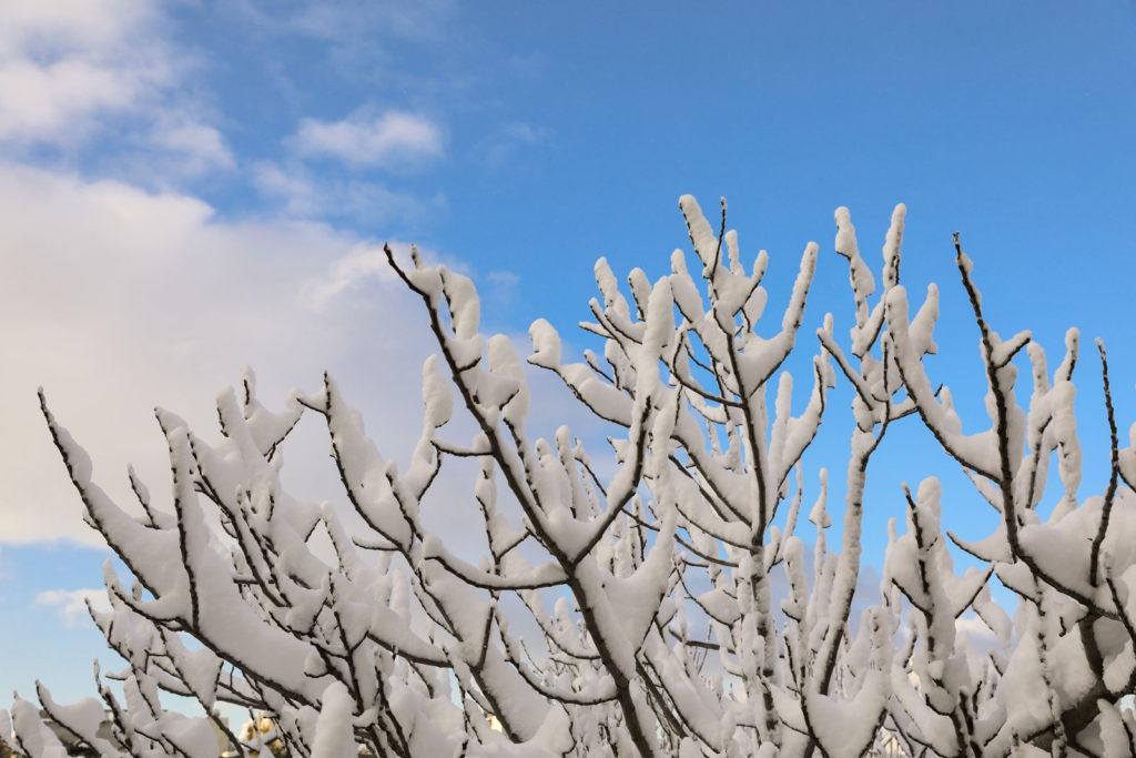 Feigenbaum im Schnee