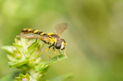 Schwebfliegen: Die wespenähnlichen Fliegen bestimmen & unterscheiden
