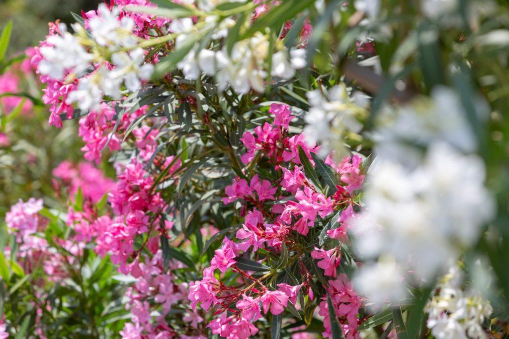 Oleanderblüten mit verschiedenen Farben