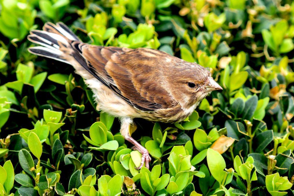 Vogel sitzt auf Buchsbaum