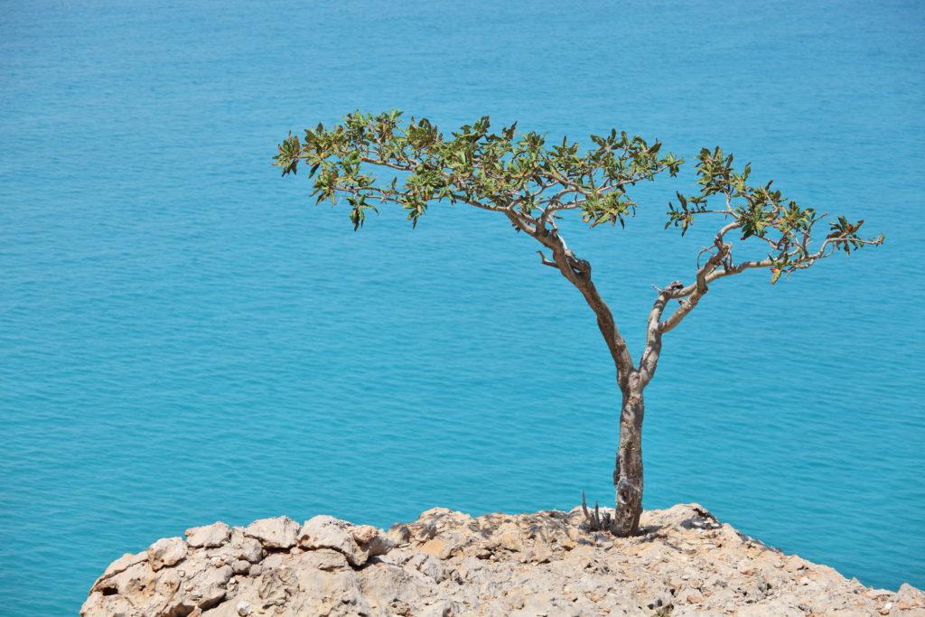 Weihrauch-Baum an einer Klippe