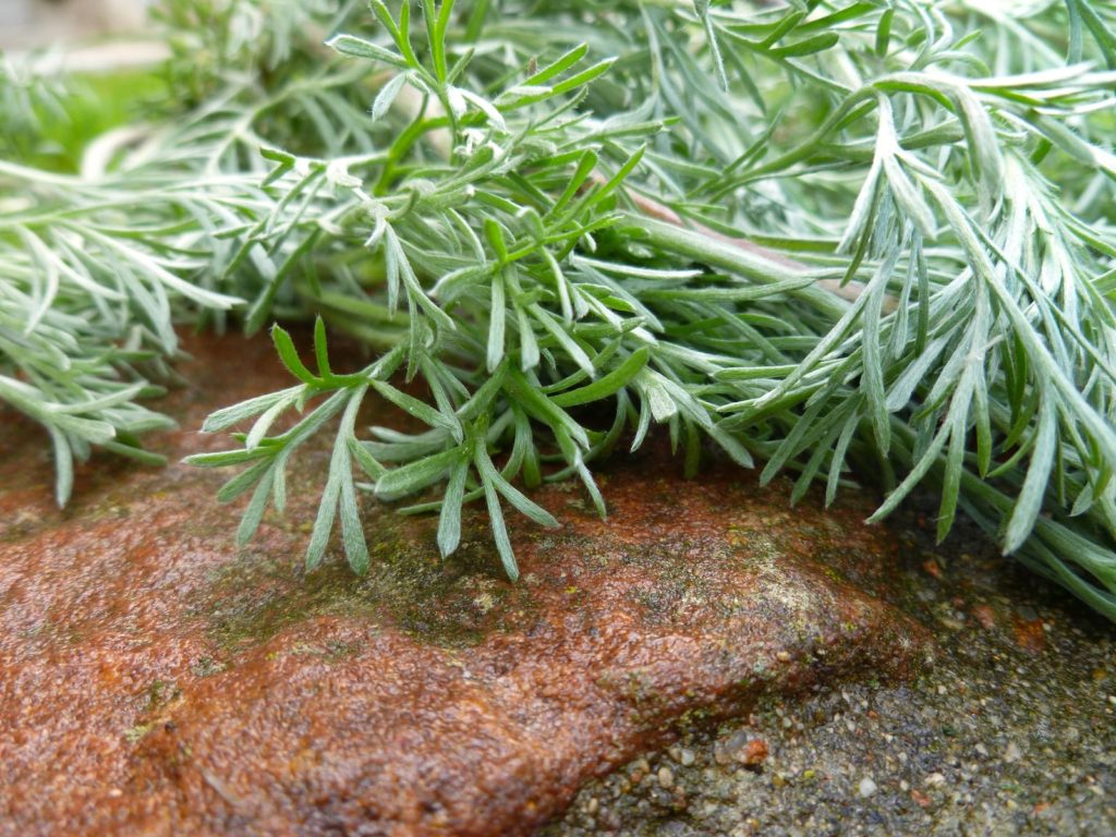 Wermutkraut auf Stein