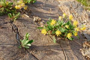 Wundklee In Felsspalte Mit Gelben Blüten