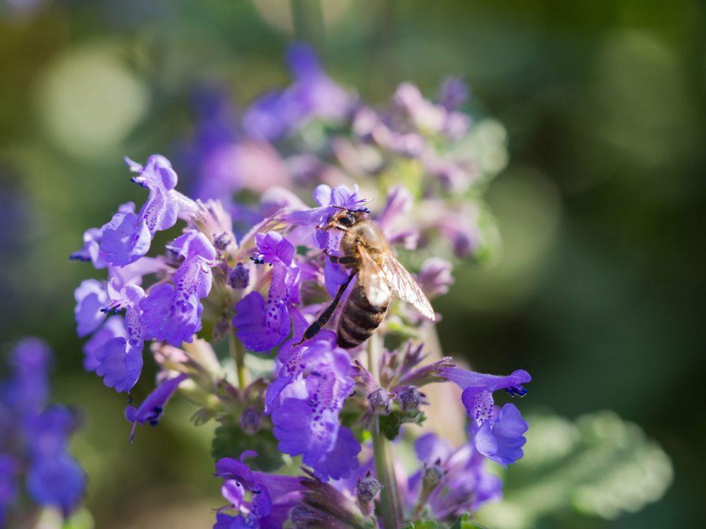 Katzenminze mit Biene