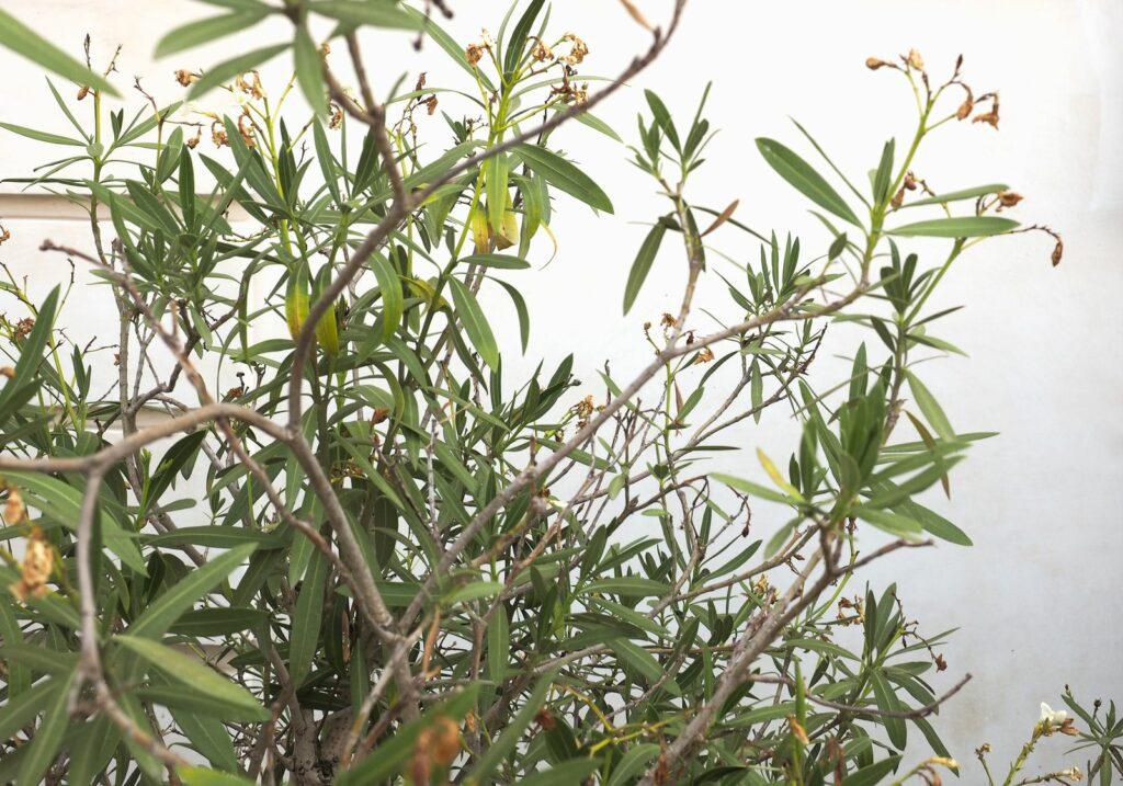 Beliebt Oleander blüht nicht: Das kann man gegen fehlende Blüten tun WP72