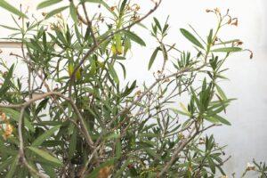 Oleander Ohne Blüten