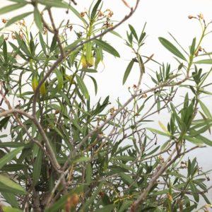 oleander sch dlinge befall erkennen bek mpfen plantura. Black Bedroom Furniture Sets. Home Design Ideas