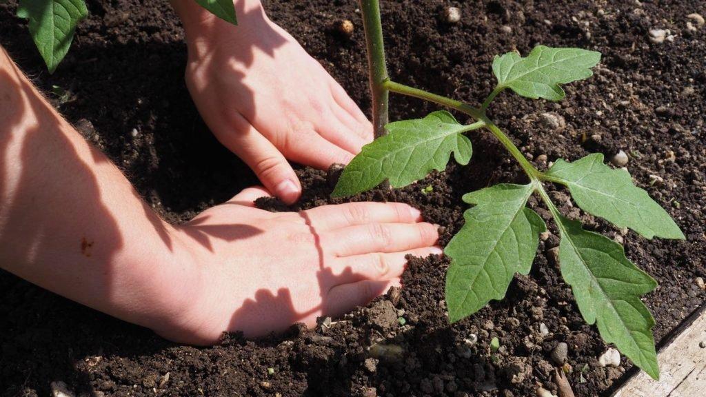 Pflanze wird in Erde gepflanzt