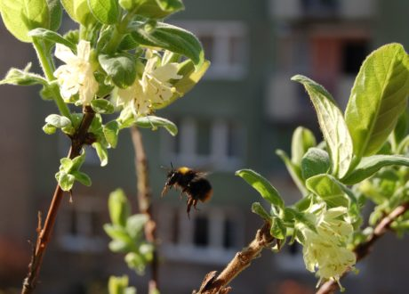 Biene Am Blaubeerstrauch Auf Balkon