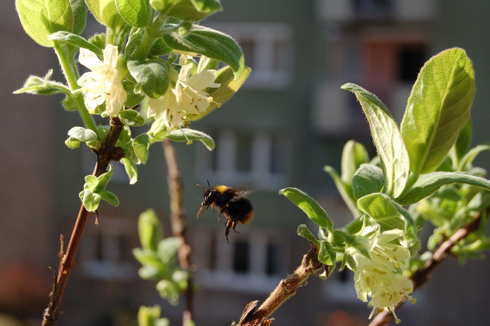 Bienenfreundliche Balkonpflanzen 15 Balkonpflanzen Fur Bienen