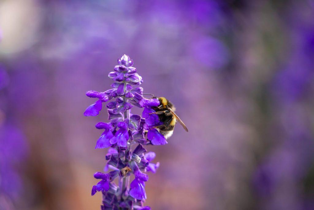 Biene an Mehlsalbeiblüte