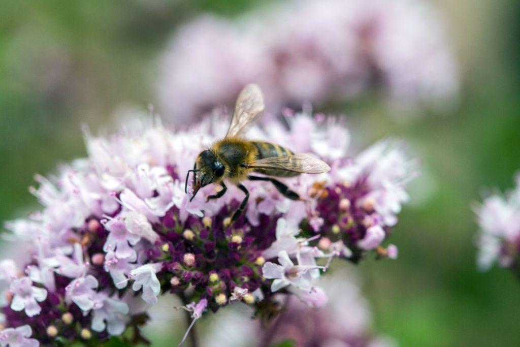 Biene an Oreganoblüte