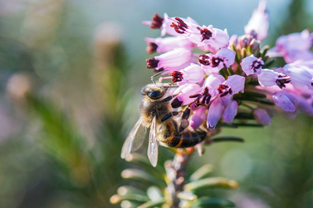 Biene an Schneeheidenblüte