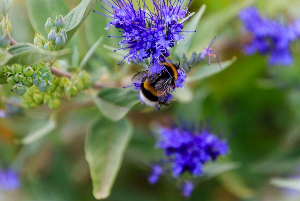 Biene auf blauer Bartblume