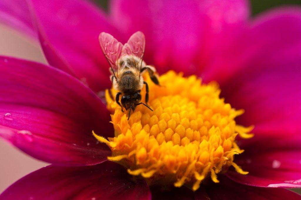 Biene auf Dahlien