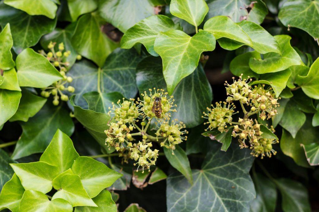 Biene auf Efeublüte