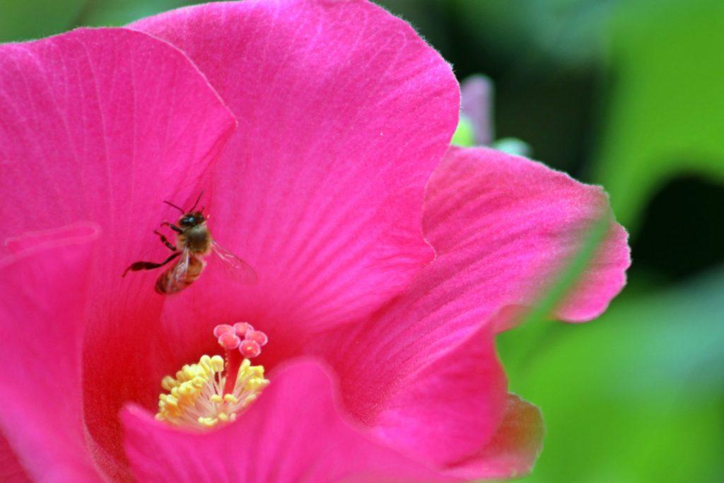 Biene auf pinkem Hibskus