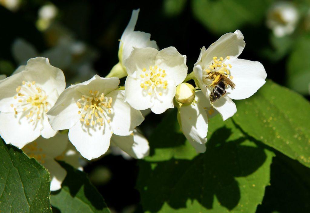 Biene auf Jasmin in der Sonne