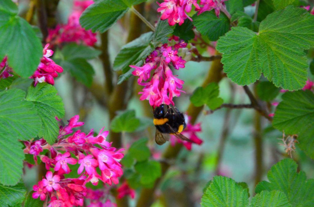 Biene auf Johannisbeerstrauch