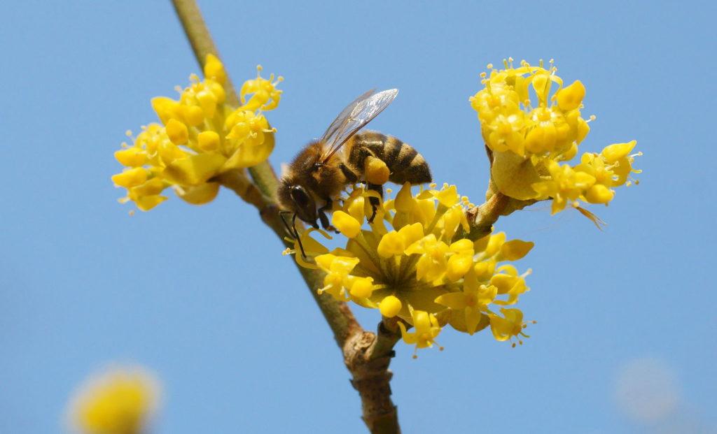 Biene auf Kornelkirsche sammelt Pollen
