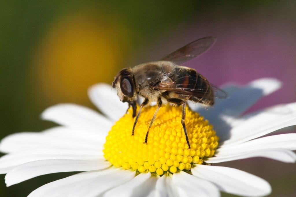 Biene auf Margeritenblüte