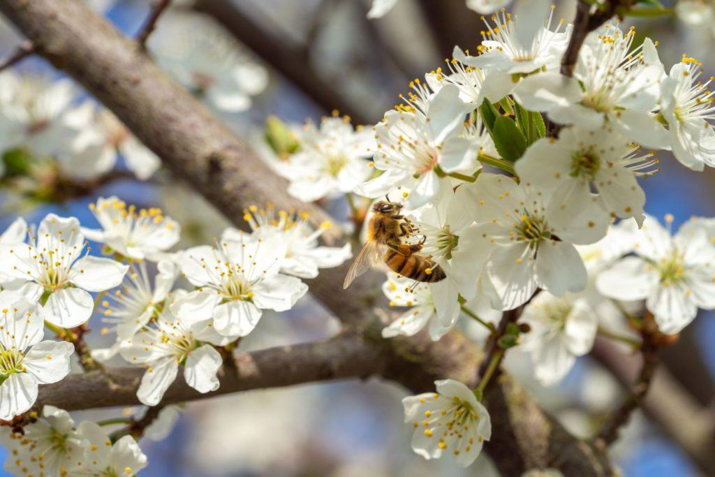 Biene auf blühender Schlehe
