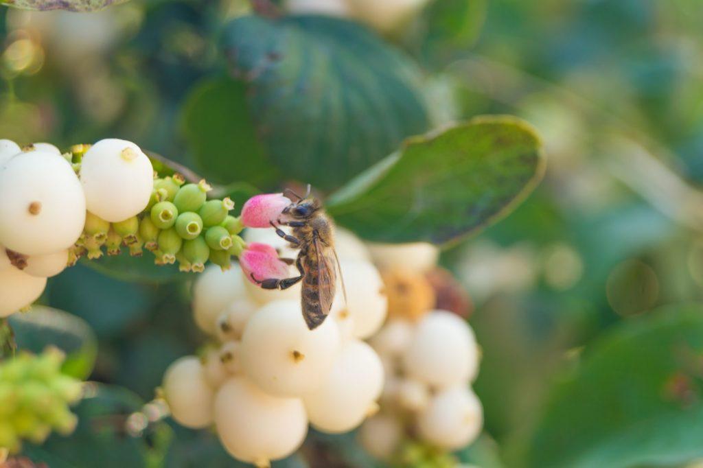 Biene auf Schneebeere sammelt Nektar
