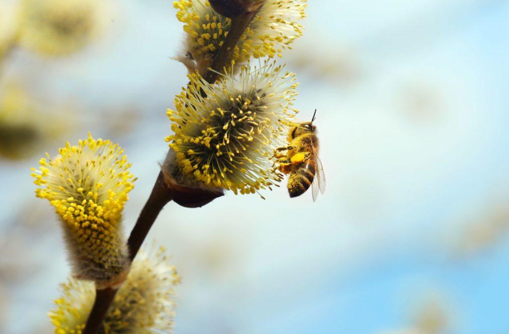 Biene auf Weidenkätzchen sammelt Pollen