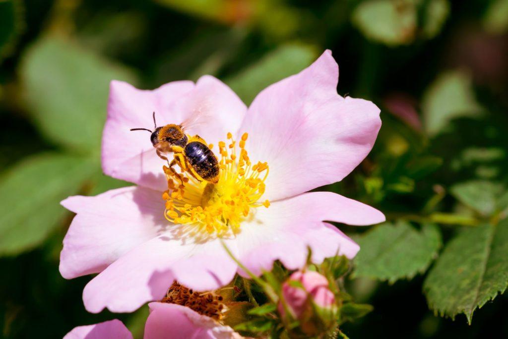 Biene auf Weinrose mit einfachen Blüten