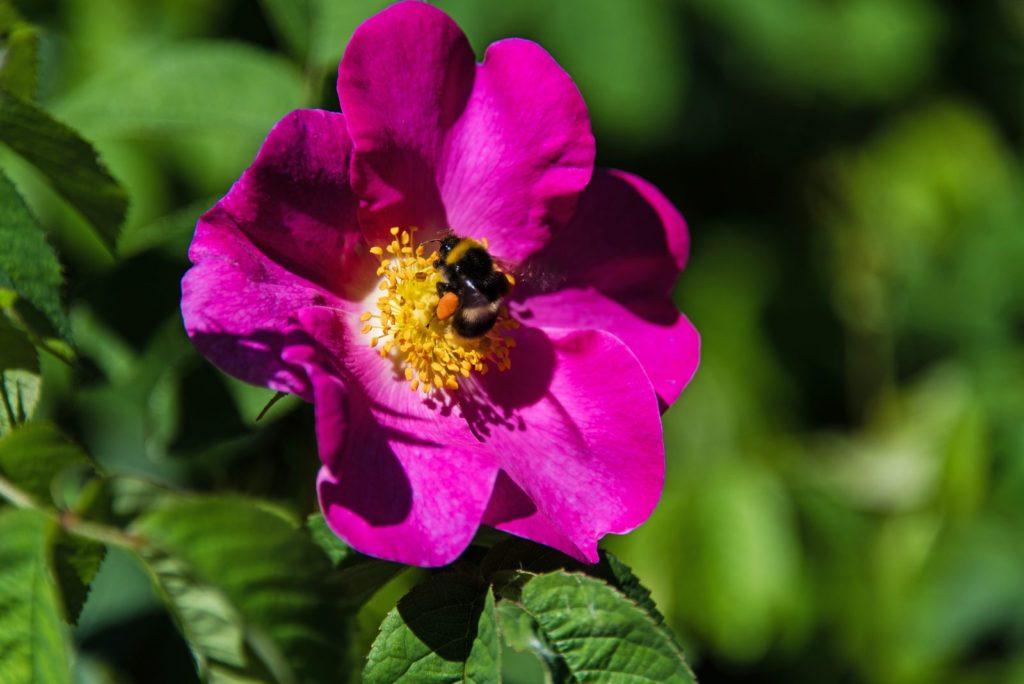 Biene auf pinker Wildrose