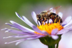 Biene Auf Lila Blüte
