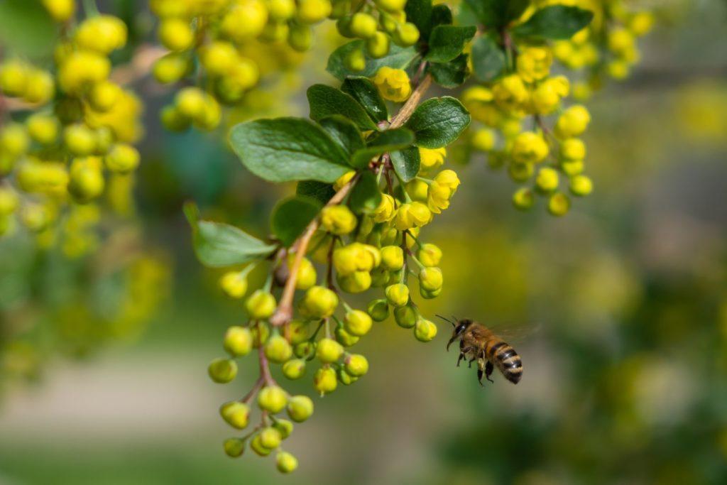 Biene bei gelber Berberitze