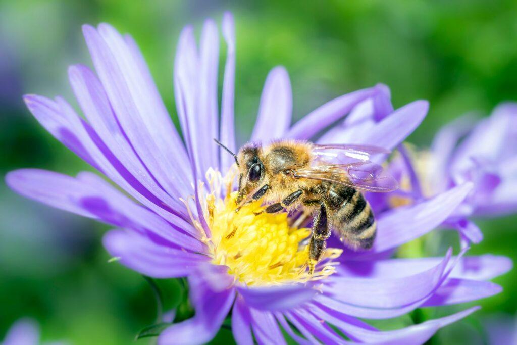 Biene mit Aster