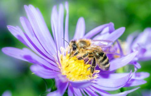 Bienenfreundliche Stauden: Die Schönsten Bienenstauden Für Den Garten