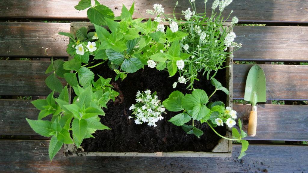 Bienenfreundlicher Blumenkasten mit weißen Blumen
