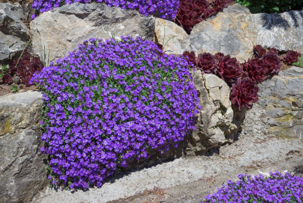 Steingarten mit bienenfreundlichem Blaukissen