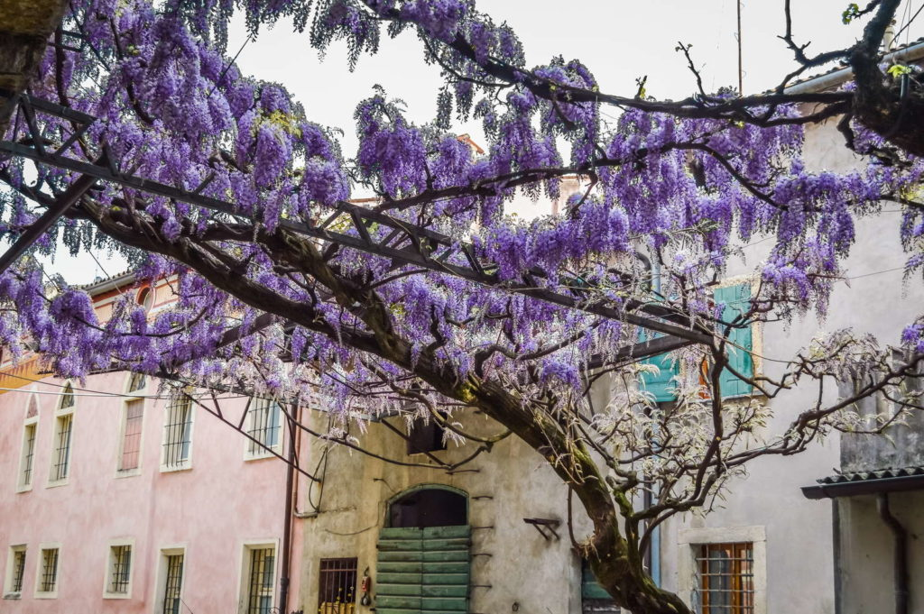 Blauregenranken vor mediterranem Haus