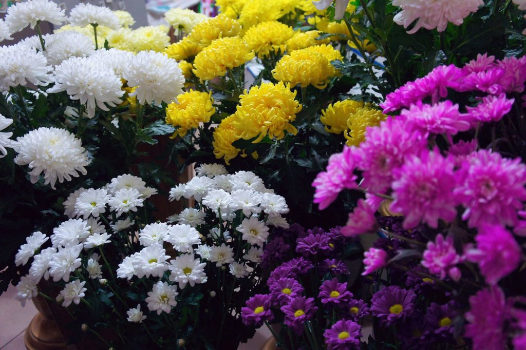 Bunte Chrysanthemen im Beet