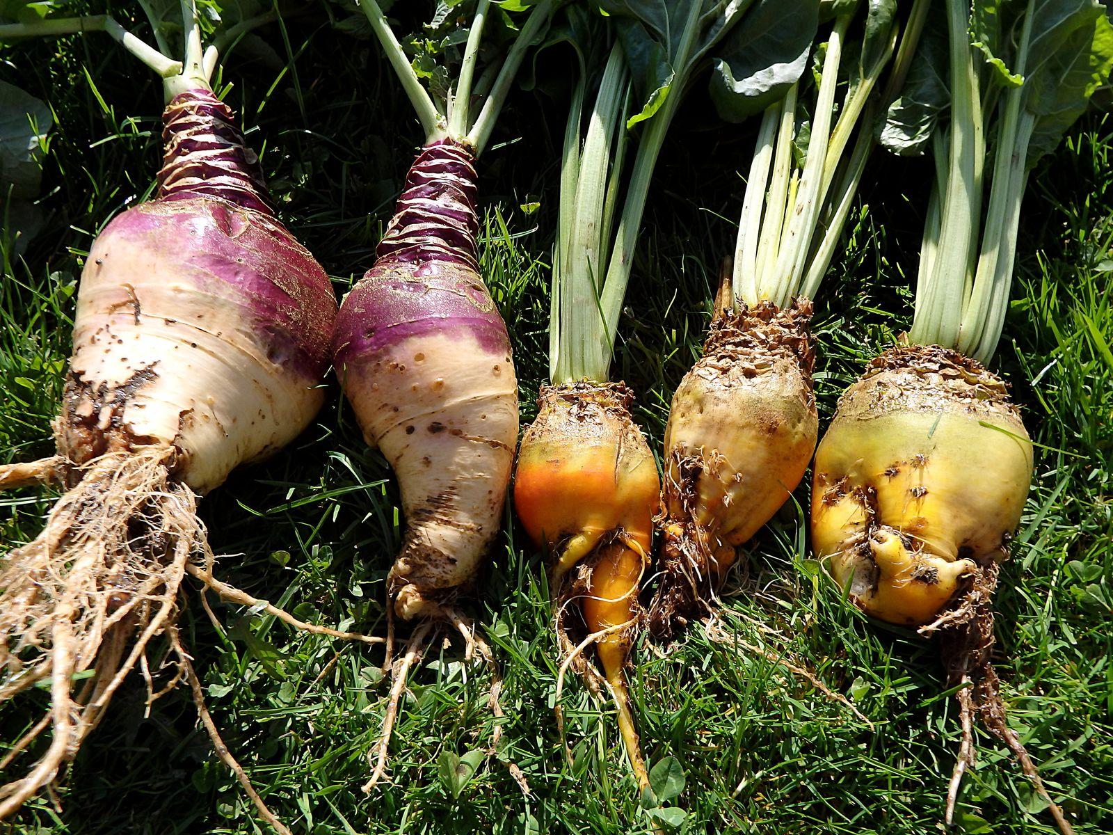 Steckrübe /'Gelbe Wilhelmsburger/' Bio 100 Samen Kohlrübe Wruke Brassica napus