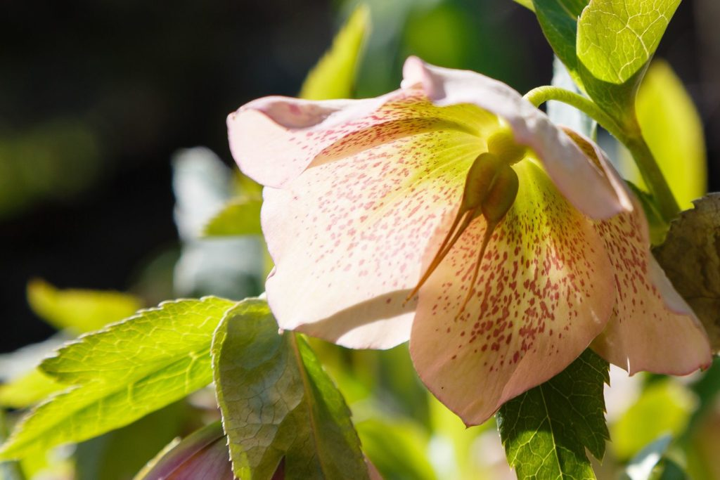 Weiße Chrisrose mit Samen