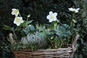 Weiße Christrosen In Braunem Korbtopf