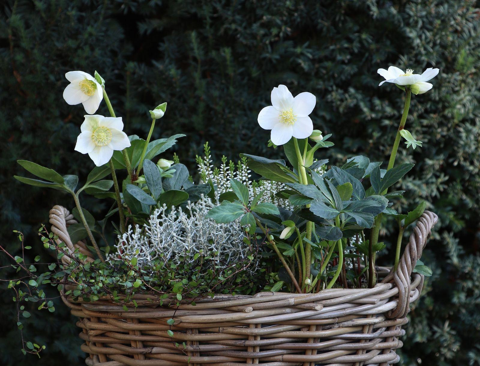 Christrosen Im Topf Alles Zum Richtigen Pflanzen Pflegen Im Kubel