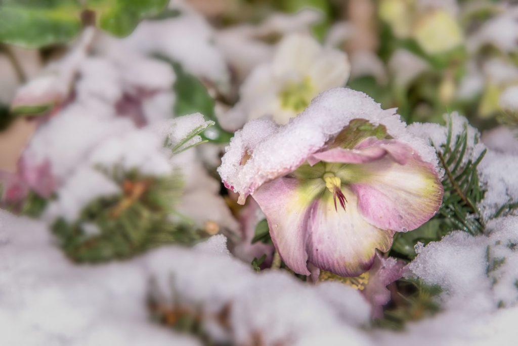 Christrose von Schnee bedeckt