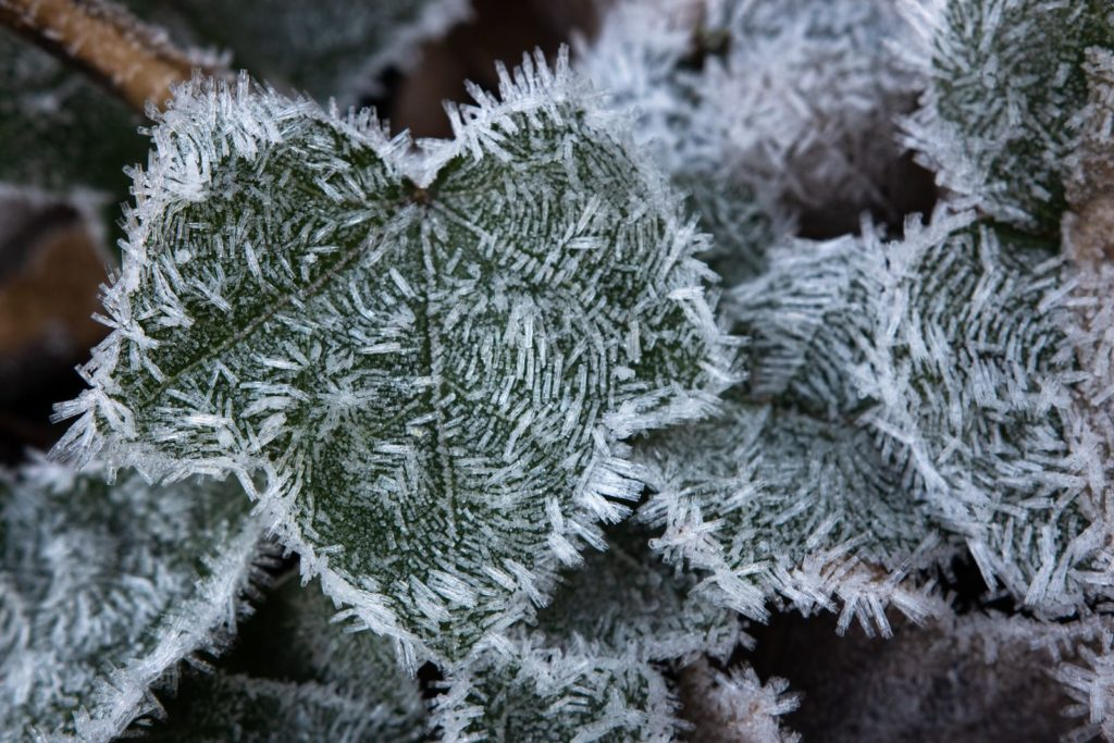 Efeu mit Frost