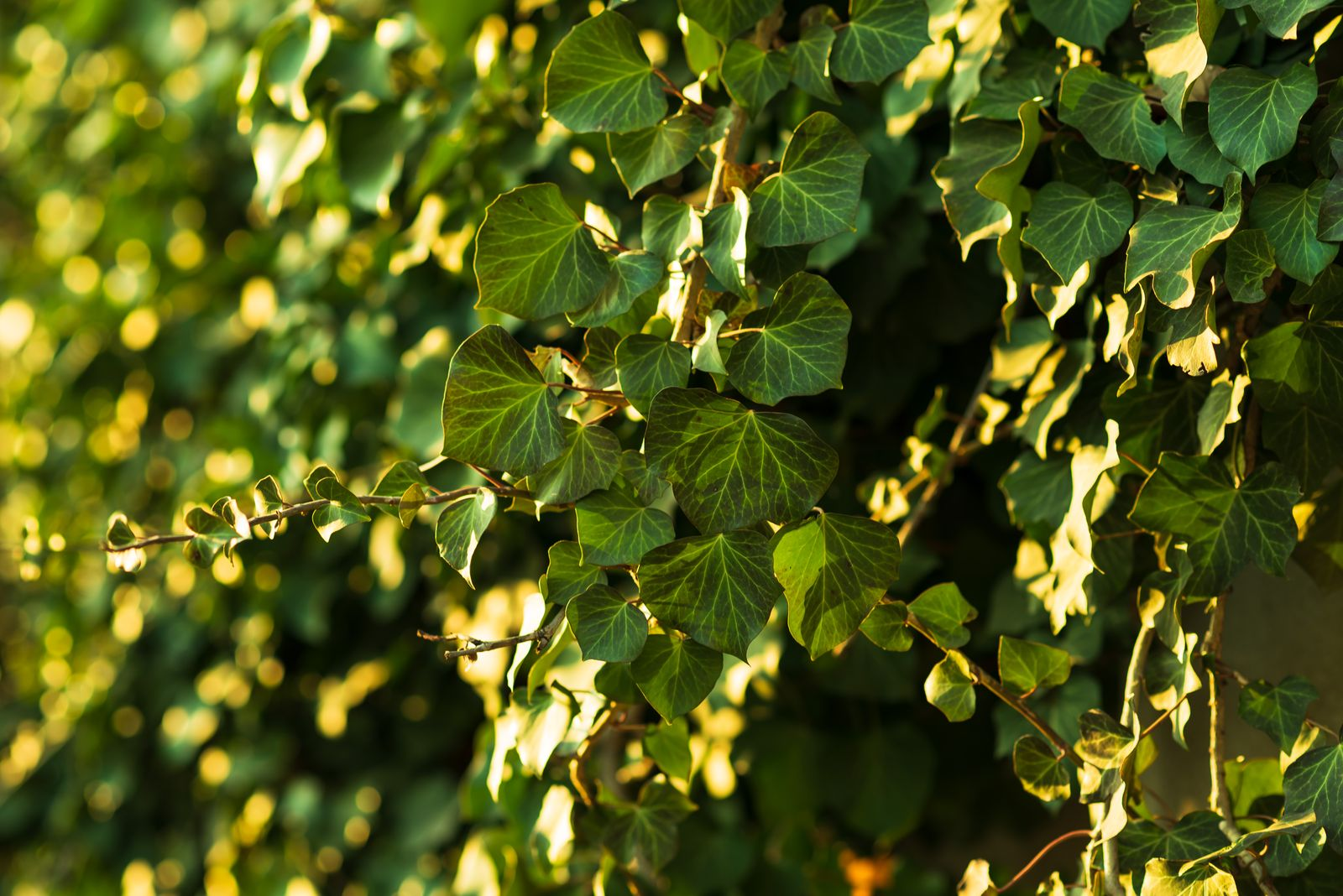 Ganz und zu Extrem Efeu: Alles zum Pflanzen, Pflegen & Entfernen der Kletterpflanze #UU_99