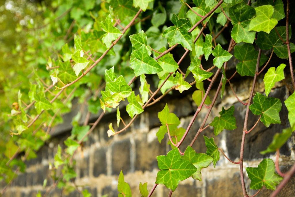Efeu der über eine Mauer wächst