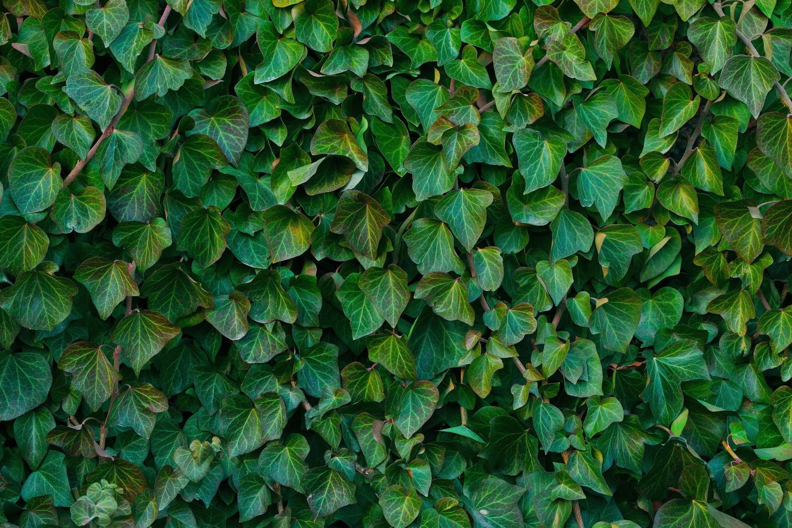 Efeu-Hecke: Experten-Tipps Zum Pflanzen & Pflegen Des