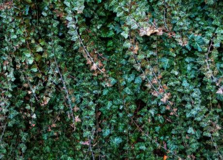 Mit Efeu überwucherte Wand